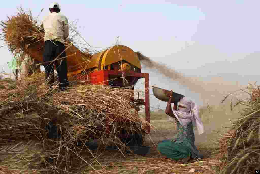 Một nông dân Ấn Độ đưa bông lúa mì vào máy đập lúa trong lúc một phụ nữ hứng các hạt lúa mì rơi vãi tại một cánh đồng thuộc làng Kunwarpur, cách Allahabad, Ấn Độ 70 kilômét về phía đông.