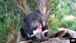In this Monday, April 18, 2016 photo, a Tasmanian devil eats wallaby in a zoo at Tasman Peninsula, Tasmania state, Australia. (AP Photo/Rod McGuirk)
