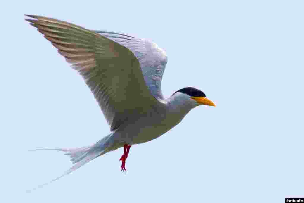 The tern has becomes the next extinct species in Cambodia. Action came too late to prevent animals such as the kouprey and the tiger, as well as birds like the Indian Skimmer and Black-bellied Tern, from becoming extinct in Cambodia. This is a lesson that needs to be learned to prevent other species from being wiped out too. (Photo by Suy Senglim)