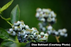 FILE - Wild blueberries. (Photo: Diaa Bekheet)