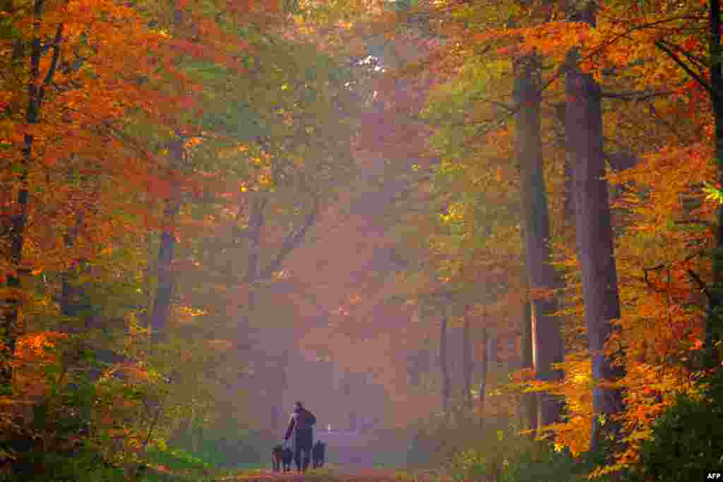 A man walks his dogs in a brightly colored forest in Cuxhaven, Germany, Nov. 7, 2018.