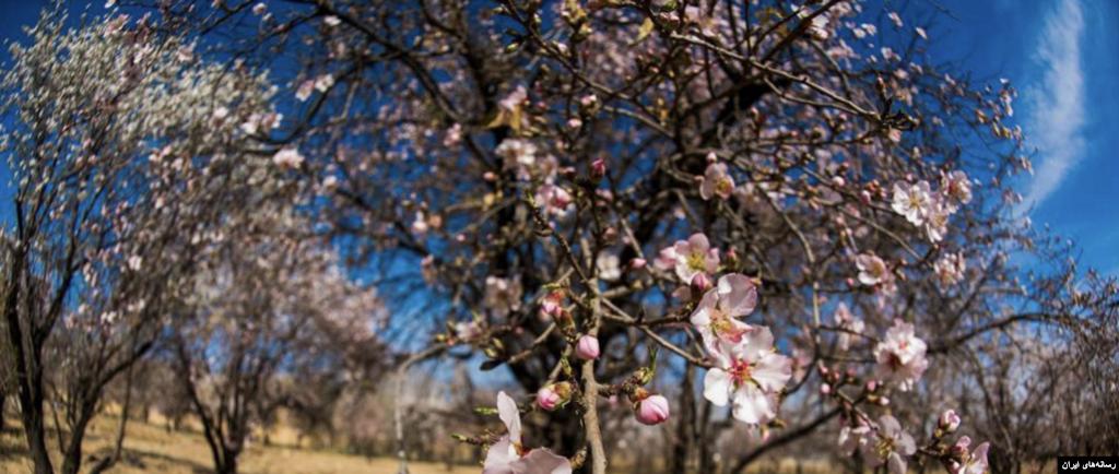 رویش زودرس شکوفههای بهاری در باغات شیراز عکس: طاهره رخبخش