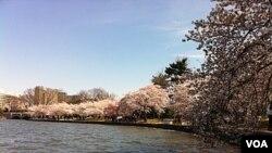 Bunga sakura bermekaran di ibukota AS lebih cepat dari biasanya tahun ini.
