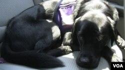 Anjing memiliki daya penciuman yang tajam sampai dapat mengidentifikasi kanker. (Foto: Ilustrasi)