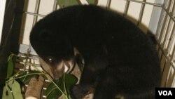 Bedhu, beruang madu usia lima bulan, berhasil diselamatkan dari perdagangan gelap satwa liar (Foto: VOA/Nurhadi)