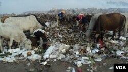 Sapi-sapi pemakan sampah di salah satu tempat pembuangan sampah di Solo (foto: VOA/Yudha).