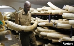 FILE - A Zimbabwe National Parks and Wildlife Management official checks ivory inside a storeroom in Harare, Aug. 22, 2012.