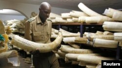 FILE - A Zimbabwe National Parks and Wildlife Management official checks ivory inside a storeroom in Harare August 22, 2012. Zimbabwe and Namibia are bidding to open up international trade in elephant ivory.