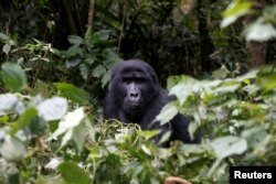 A male mountain gorilla from the Mukiza group is seen in the forest within the Bwindi National Park near the town of Kisoro, Uganda, March 31, 2018.
