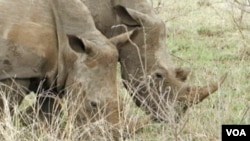 Rhinos at the Thornybush Game Reserve in South Africa.