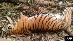 Bangkai Harimau Sumatra, yang jumlahnya makin langka, yang tewas setelah terperangkap di jebakan untuk babi hutan di Pekanbaru, 26 September lalu (foto: ilustrasi).