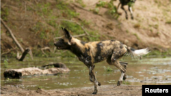 In this file photo, critically endangered African wild dogs hunt a Bushbuck in the Mana Pools National Park, a World Heritage Site, in northern Zimbabwe November 7, 2009. (REUTERS/Howard Burditt)
