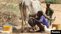 Seorang anak Somalia memerah susu sapi di Mogadishu (12/1/2011). Sejak tahun 1991, Somalia dihantam berbagai krisis dan situasi ini diperburuk dengan musim kemarau berkepanjangan.