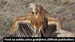 Beloglavi sup Dobrila u Specijalnom rezervatu prirode Uvac, Foto: Fond za zaštitu ptica grabljivica