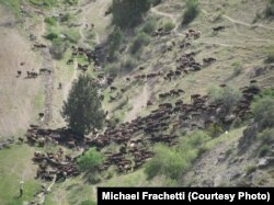 A nomad's herd of sheep flowing through high altitude slopes. (2000m elevation, Uzbekistan)