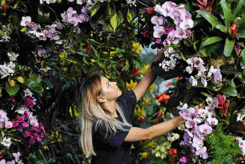 Londonun Key Gardens botanika bağında işçi Cenni Forgi orxideyaları düzəldir. 9 fevral 2018.