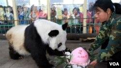 Los pandas son una de las grandes atracciones del Zoológico Nacional, en Washington.