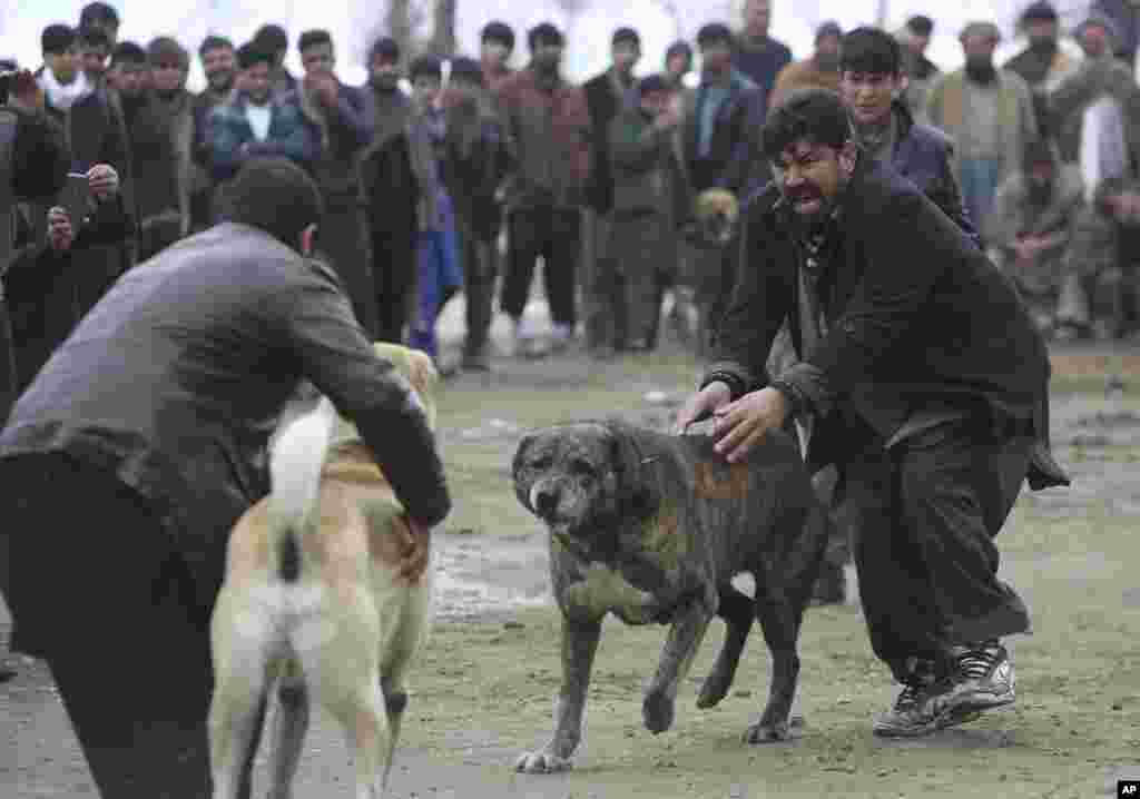 Dog owners attend a weekly dogfighting event in Paghman district of Kabul, Afghanistan. Dogfighting is a popular form of entertainment during the winter season in Afghanistan. Dogs do not fight until death but rather until one dog pins another, or one of the fighters runs away.