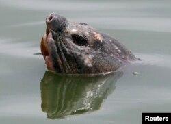 """'Cụ Rùa' nổi lên ở hồ Hoàn Kiếm, Hà Nội, ngày 3/4/2011. Cái chết của 'cụ Rùa' được xem là linh thiêng 1 ngày trước khi Đại hội Đảng khai mạc khiến nhiều người sử dụng Facebook coi đây là """"điềm xấu""""."""