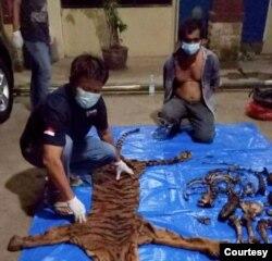 Kulit dan organ harimau Sumatera yang disita aparat di Bengkulu, 21 Juni 2021. (Courtesy: Kementerian Lingkungan Hidup dan Kehutanan RI)