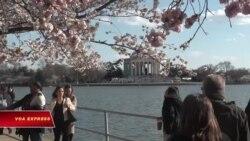 Mùa hoa anh đào nở tại thủ đô Mỹ