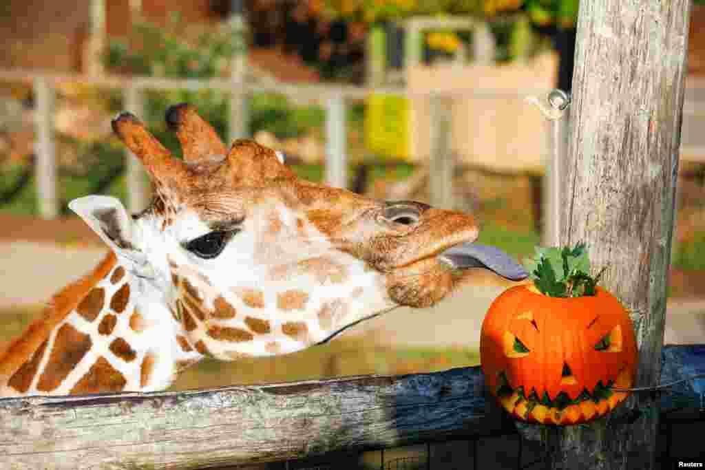 A giraffe eats a pumpkin at London Zoo in Britain.
