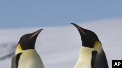 Two adult Emperor Penguins with a juvenile on Snow Hill Island, Antarctica.