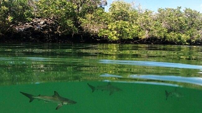 En esta foto del 25 de febrero de 2019 provista por el Parque Nacional Galápagos se ven tiburones martillo recientemente descubiertos en Santa Cruz, Galápagos, Ecuador.