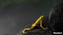 Una rana dorada panameña miembro de una especia en grave peligro de extinción.