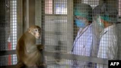 該照片攝於2020年5月23日。泰國朱拉隆功大學國家靈長類研究中心的研究人員正在與一隻長尾獼猴互動。 (法新社提供)