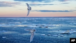 Birds fly over sea ice scattered on the Victoria Strait in the Canadian Arctic Archipelago, Friday, July 21, 2017. Environmental concerns and a growing acceptance of the rights of the region's indigenous population have held back some of the more extreme plans for Arctic exploration. (AP Photo/David Goldman)
