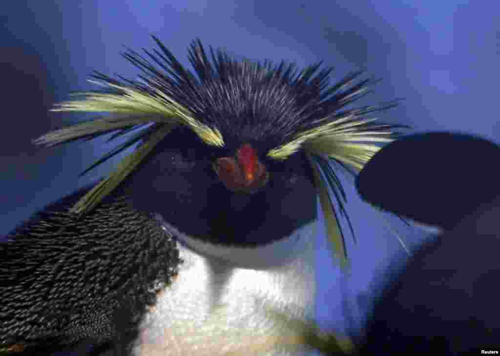 A northern rockhopper penguin stands in its enclosure at Munich's Hellabrunn Zoo, Germany.