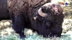 """""""Amerikanın Milli Heyvanları"""" siyahısına daxil edilən bizonlar"""