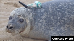 This harbor seal was among some 100 tagged with a GPS phone tag for the study. (Credit: Current Biology)