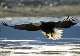 Thousands of pairs of bald eagles nest in the Tongass