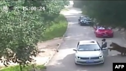 This video frame grab received from China's state broadcaster CCTV on July 25, 2016, shows a tiger (far R) attacking a passenger after she stepped out a car at Beijing Badaling Wildlife World on July 23, 2016.