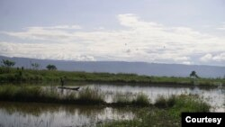 Persawahan di desa Meko, kecamatan Pamona Barat yang terendam air danau Poso sehingga tidak dapat diolah oleh petani di desa tersebut. Jumat, 6 November 2020. Foto: Mosintuwu/RayRarea