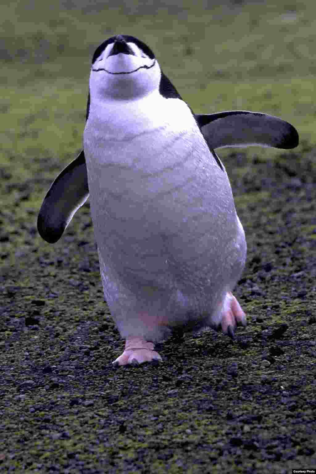 Penguin Chinstrap berjalan di atasPrasiola crispa, atau daratan ganggang hijau.(OCEANITES/Ron Naveen)