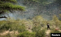 Ahmed Ibrahim, an Ethiopian farmer, attempts to fight desert locusts as they fly in his farm on the outskirt of Jijiga in the Somali region, Ethiopia January 12, 2020. (REUTERS/Giulia Paravicini)