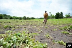 FILE - A woman wonders through a crop field which has been washed away by flood waters near Blantyre, Malawi, Jan. 15, 2015. Malawi is currently facing the worst food shortage in a decade.