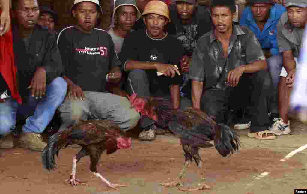 براعظم افریقہ کے مڈگاسكر کے دارالحکومت اینٹانانیریو میں مرغ بازی روایتی طور پر ایک مشہور کھیل ہے۔