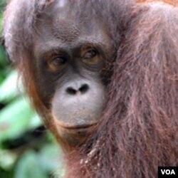 Orangutan seperti ini bergantung pada hutan-hutan di Sumatera sebagai tempat berlindung mereka.