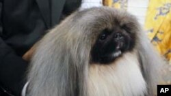 Malachy, a Pekingese, sits in the trophy after winning the Westminster Kennel Club dog show in New York, Feb. 14, 2012.