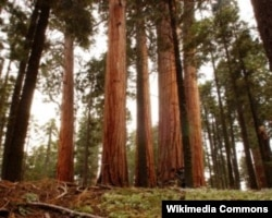 California's sequoia trees are among the largest and oldest living things on Earth.