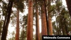 Kalifornijske sekvoje su medju najvećim i najstarijim živim bićima na Zemlji.