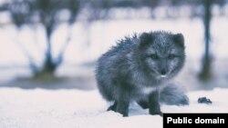 عکس تزئینی - یک روباه قطبی با پوست خاکستری مایل به آبی که به روباه قطبی «آبی» شهرت دارد