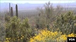 Pustinja Sonora
