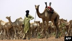 Туарег з верблюдами в Сахарі
