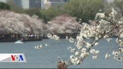 Washington'da Kiraz Ağaçları Çiçek Açtı