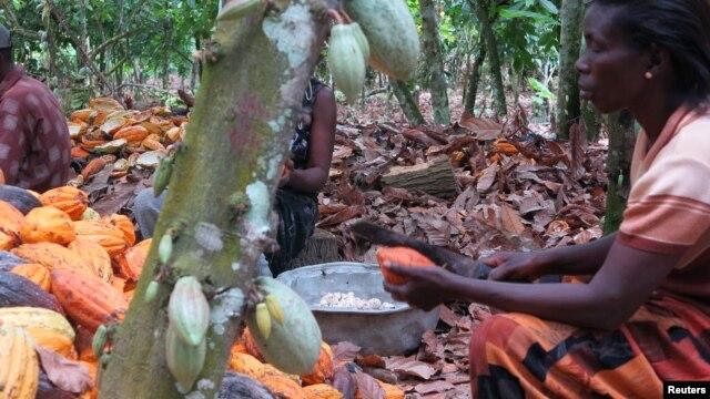 Farmers break cocoa pods in Ghana's eastern cocoa town of Akim Akooko September 6, 2012.